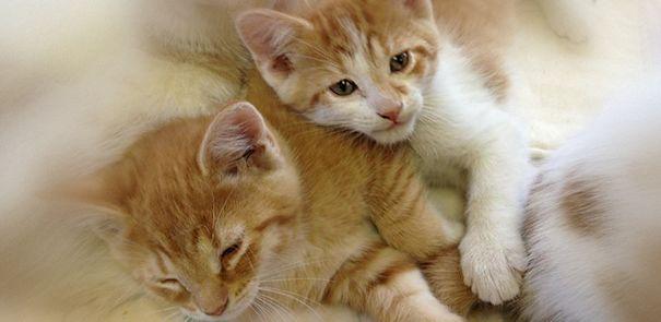 CAPP Kittens